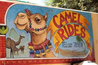 Camel riding on Imhoff Farm, a tour attraction in Cape Town, Western Cape, South