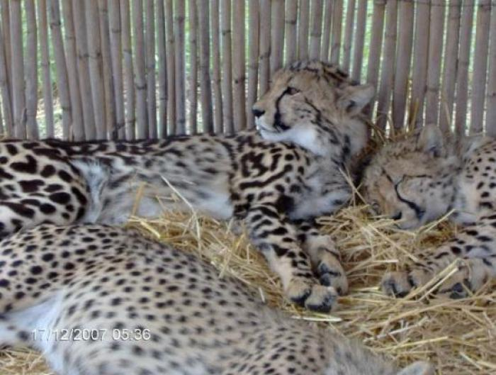 Cheetah Outreach Centre, a tour attraction in Cape Town, Western Cape, South