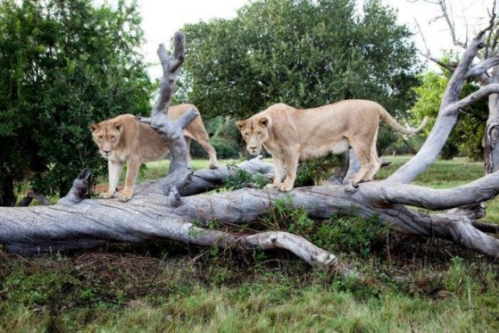 Lion Park, a tour attraction in Johannesburg, Gauteng, South A