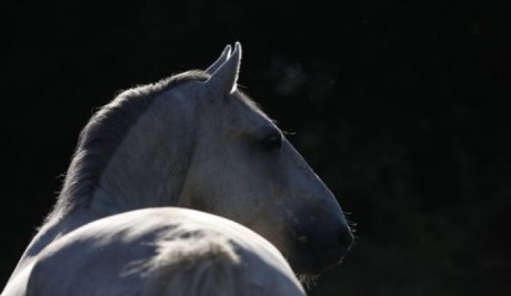 School of Performing Lipizzaner stallions, a tour attraction in Johannesburg, Gauteng, South A