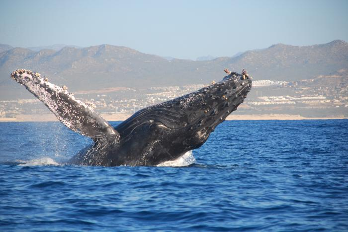 Whale watching tours, a tour attraction in The Garden Route South Africa