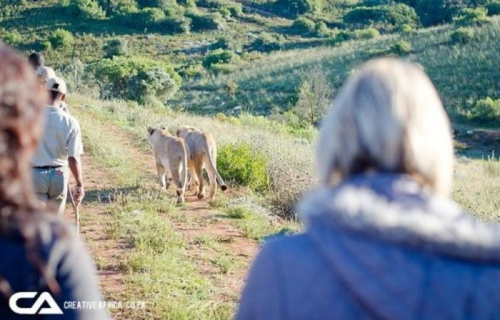 Walking with lions, a tour attraction in The Garden Route South Africa