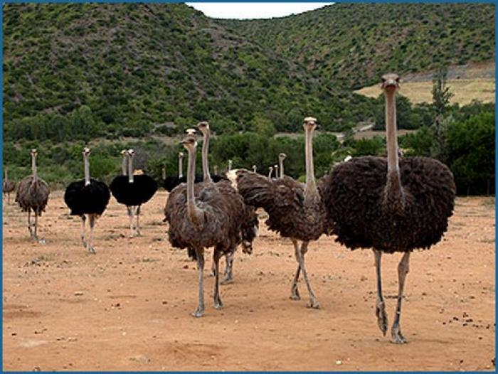 Ostrich farm, a tour attraction in The Garden Route South Africa